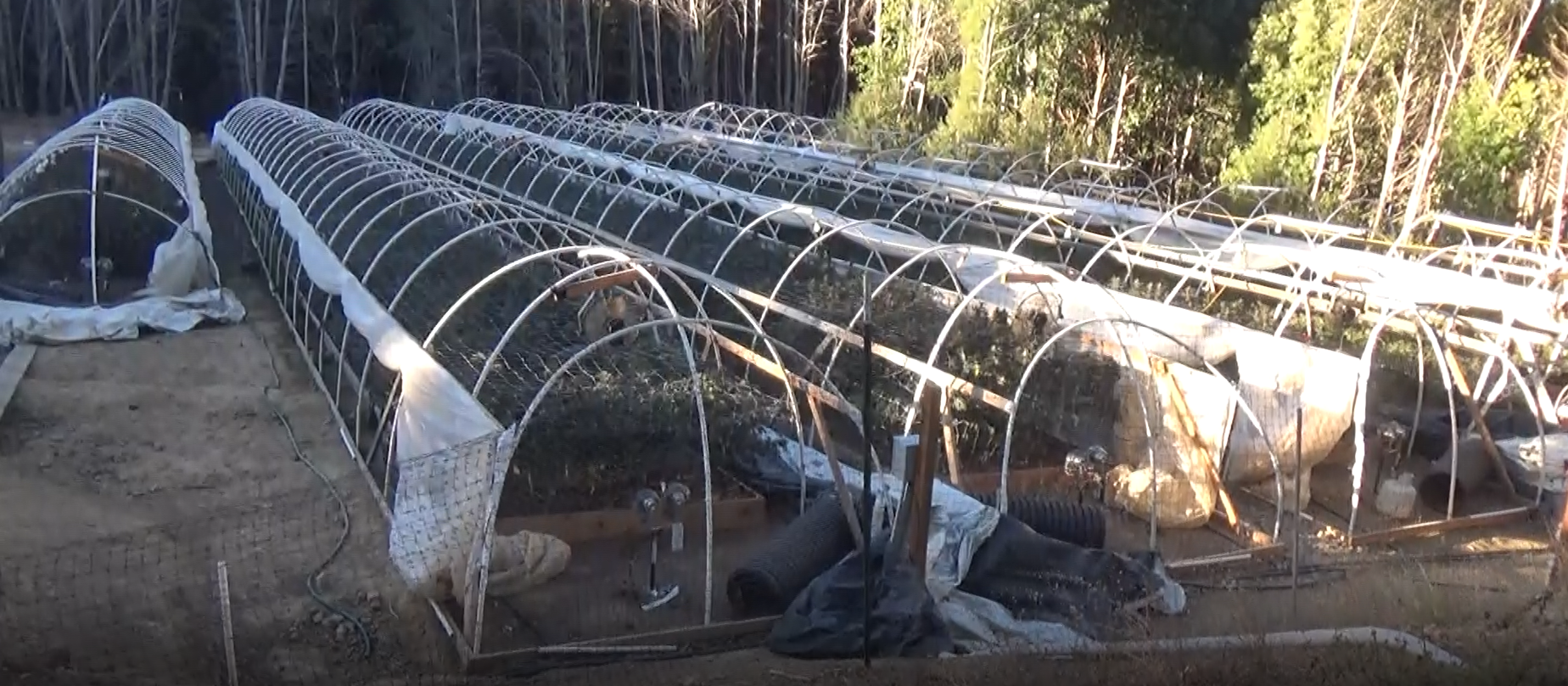 Line of greenhouses growing cannabis