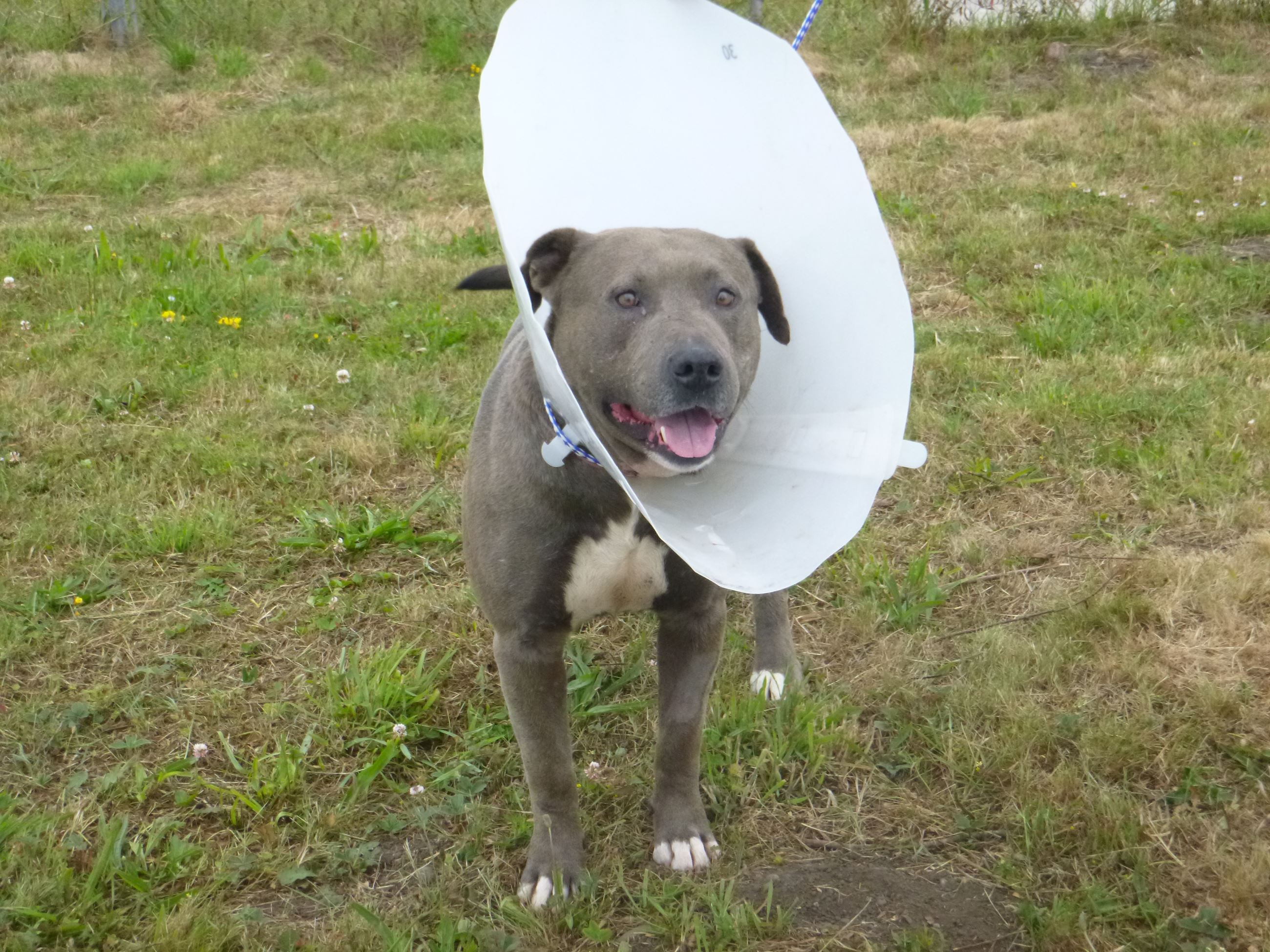 Injured dog in a field wearing a cone