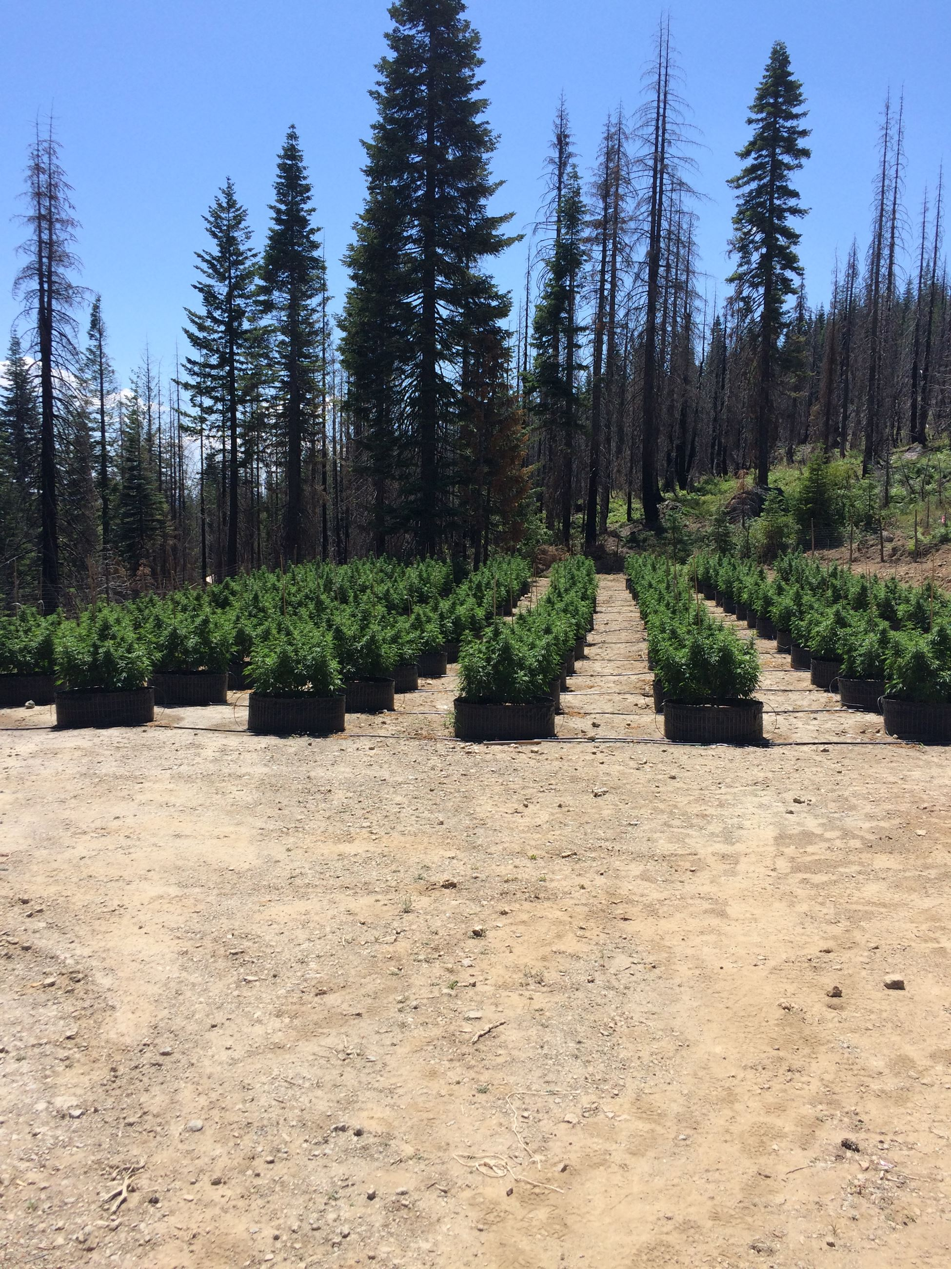 outdoor growing marijuana plants