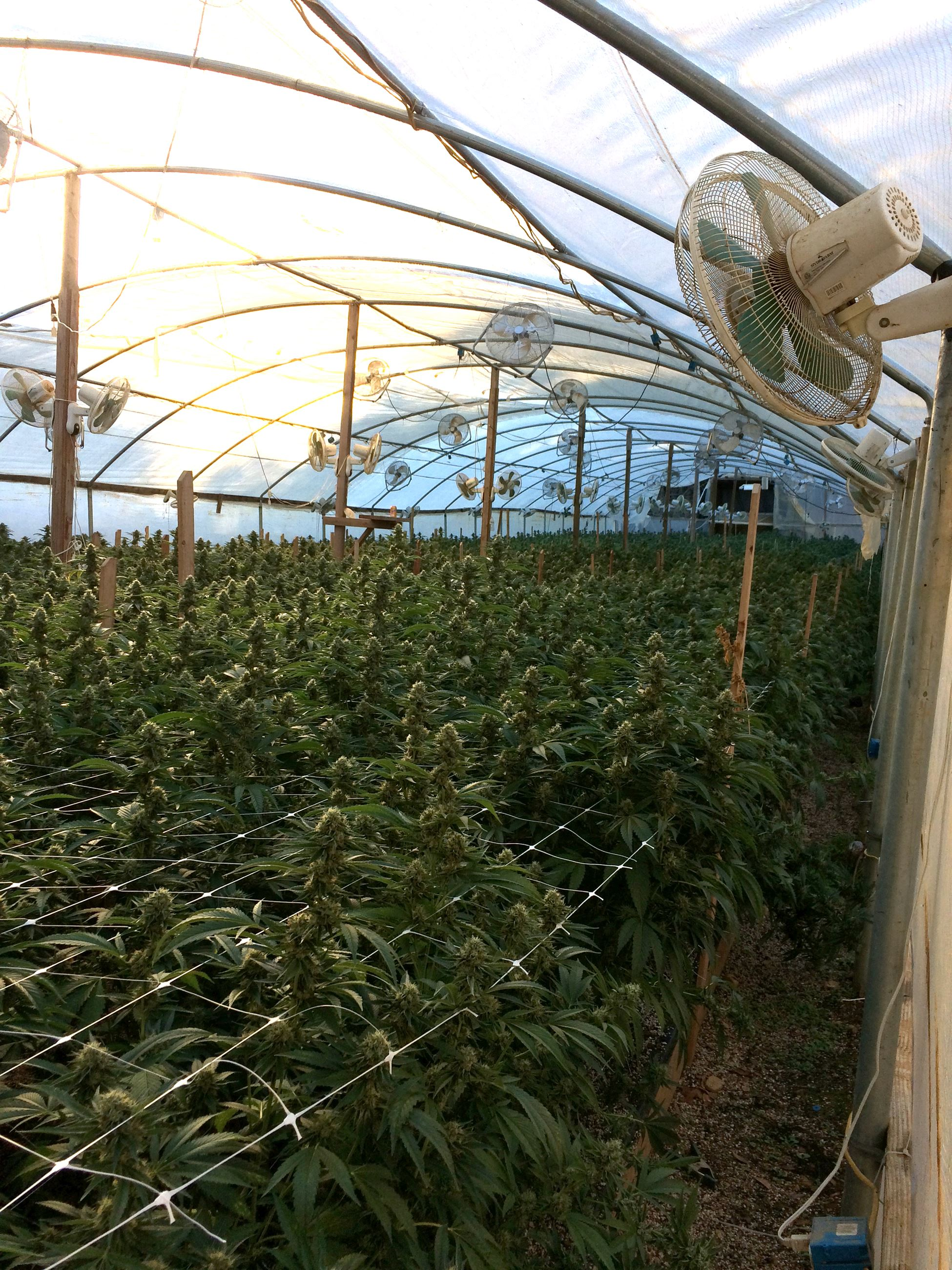 Marijuana growing inside a green house found at the Rancho Sequoia search warrant.