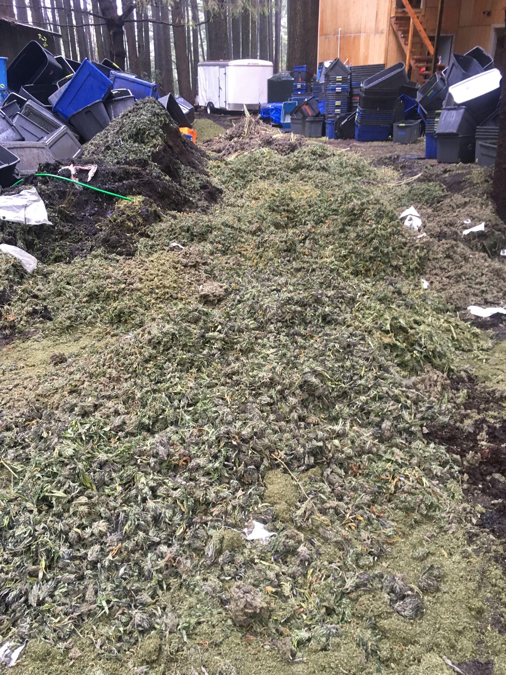 Cannabis being destroyed on scene
