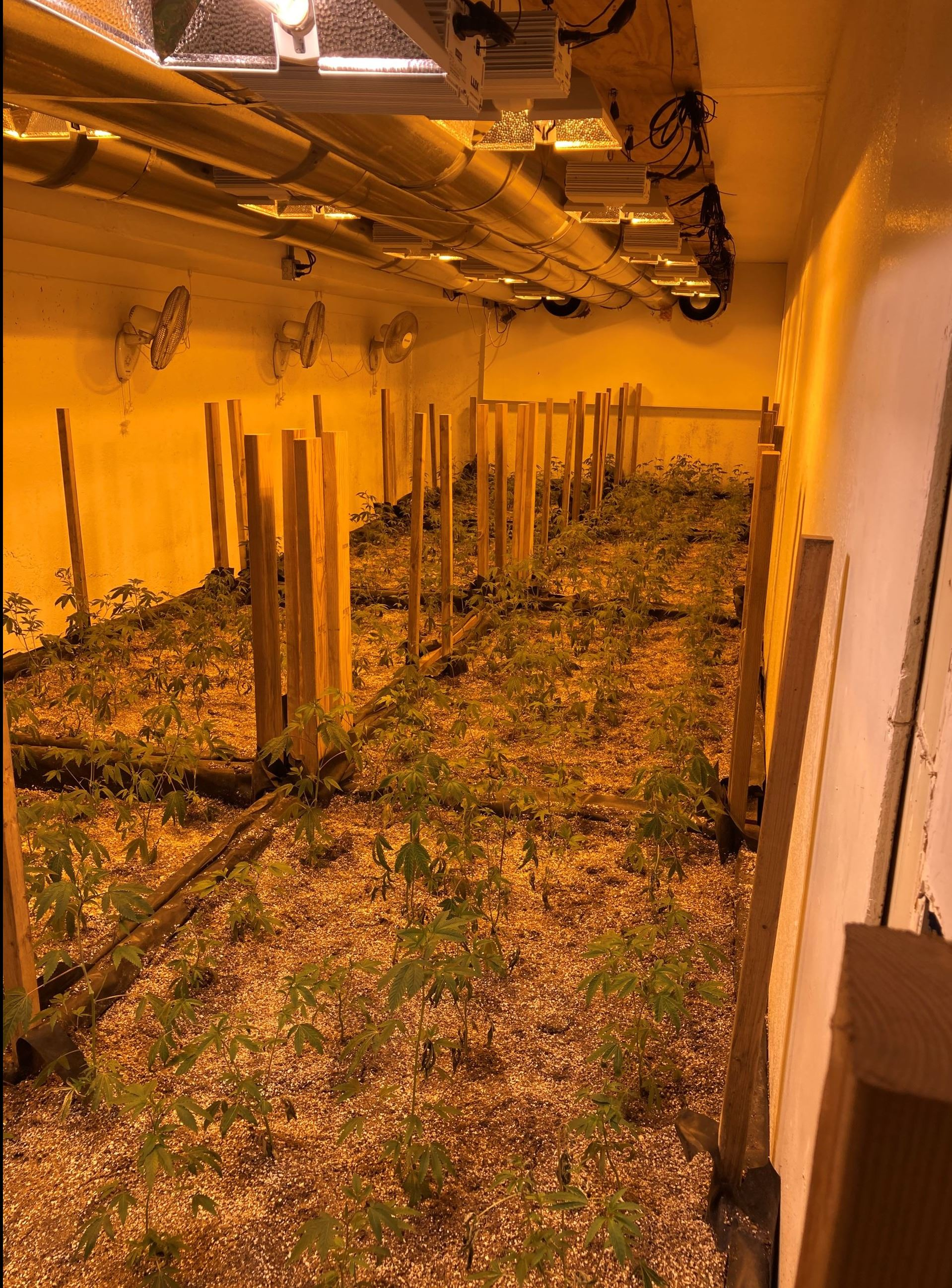 Cannabis plants growing in an illegal indoor cultivation site