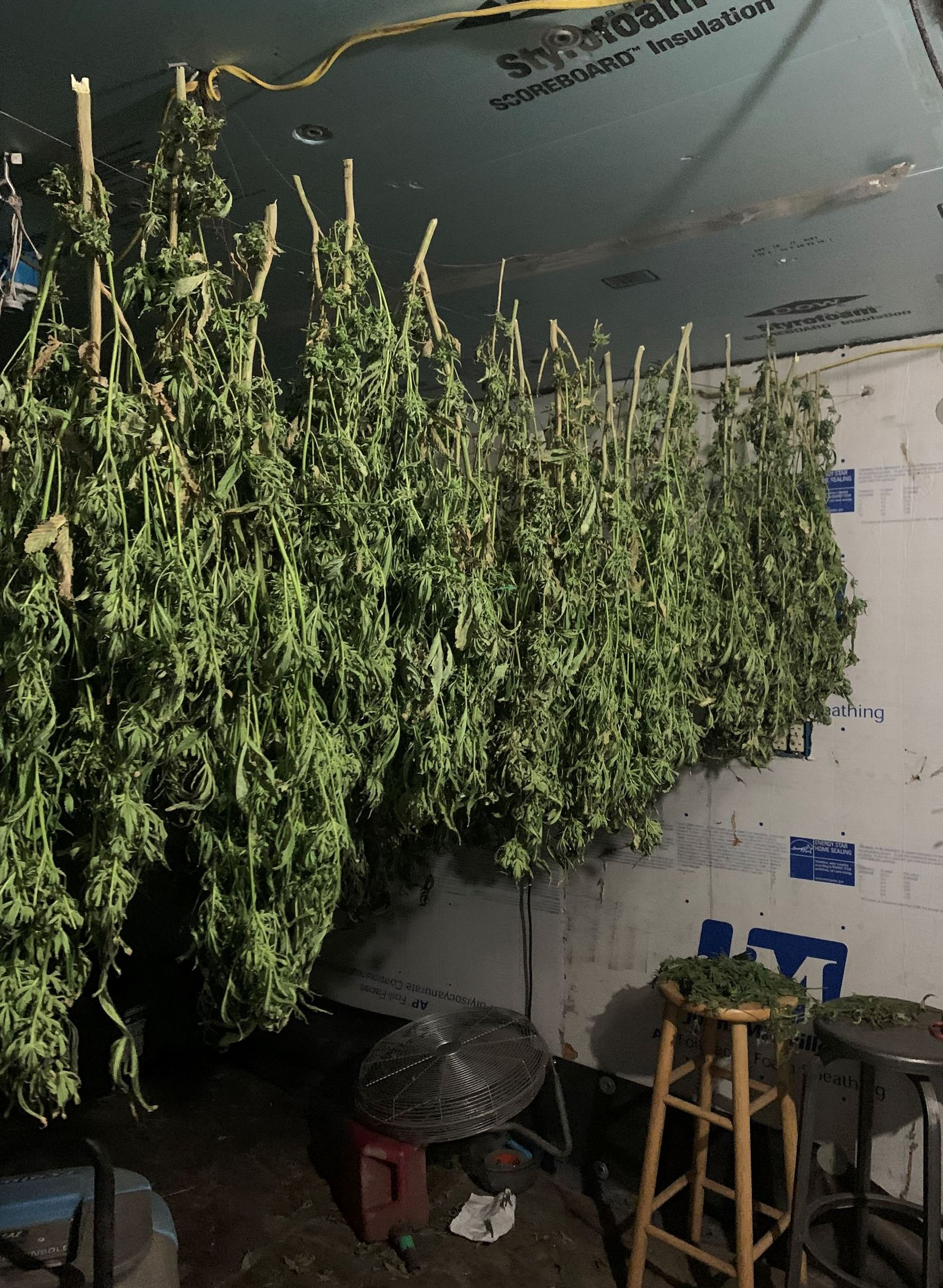 Cannabis hanging to dry
