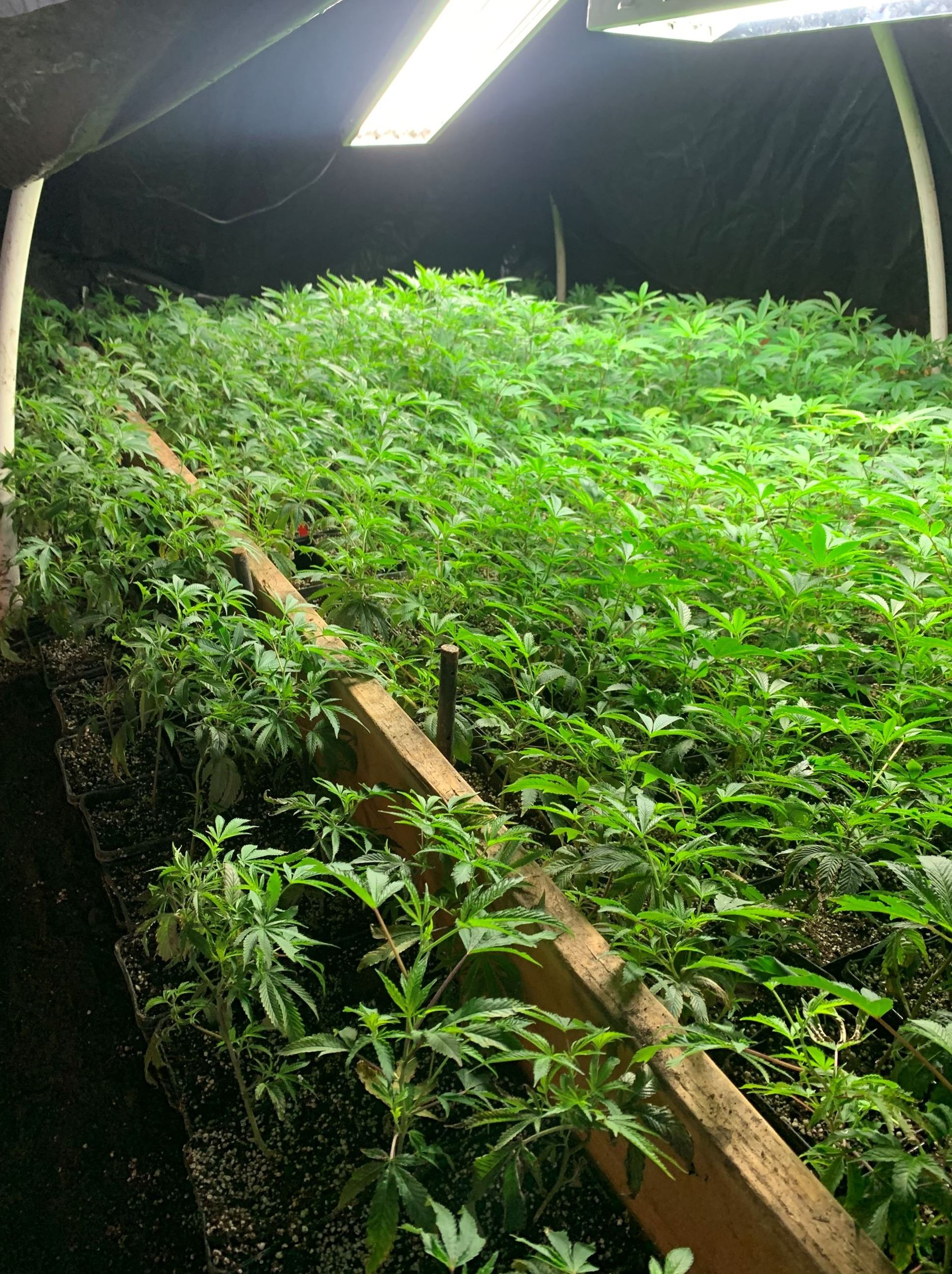 Room full of growing cannabis plants